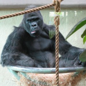 Jock the alpha male gorilla